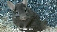 Tonis Pets Ireland Chinchillas